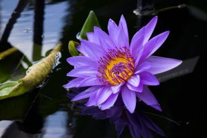 Water lily 2014 by OL27