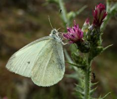 large white by lisans