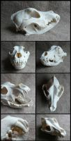 Pitbull Skull by CabinetCuriosities