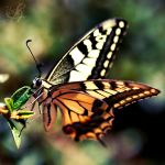 Papilio Machaon by Stefania-R