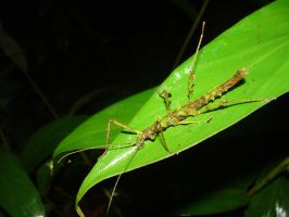 Stick insect by bslirabsl