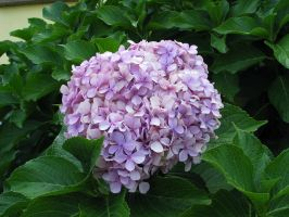 Hydrangea in Pale Purple by solnascens