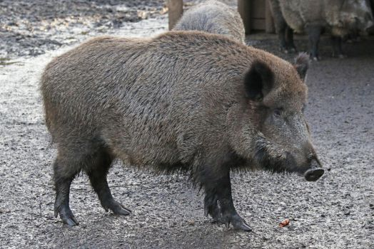 Female wild boar by BetaDraconis