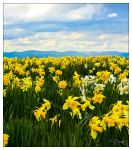 Daffodils Forever by FlippinPhil