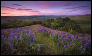 Lupine Meadow, Dawn by MarcAdamus