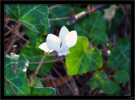 White wild cyclamen by J-Y-M