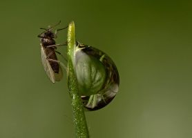 MIdge on a Dew Drop by Alliec