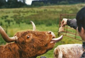 Hairy Coo by mnphoto