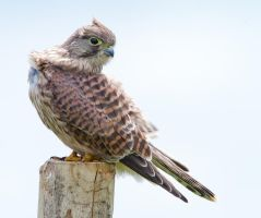 Alert - Common Kestrel - juvenile female by Jamie-MacArthur