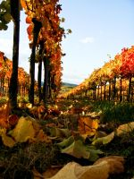 in the vineyards 1 by stoani