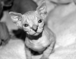 Sphynx Kittens - 07 by xx-trigrhappy-xx