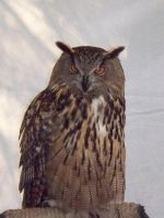 Eagle Owl by desertlilly