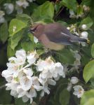 Cedar Wax Wing and Apple Blossoms by RocksRose