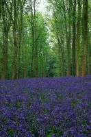 Bluebells in Cotswolds by O-Gosh