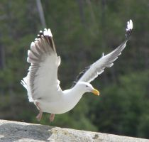 Seagull 6 by Chance-STOCK