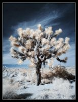 Joshua Tree - Infrared by hquer