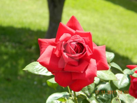 Red Rose by EcclecticRed