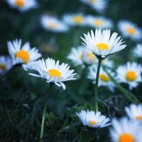 Daisies by Anbec