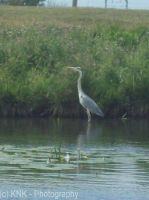 Heron by KNK-Photography