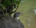 The Little Heron . The Silent Predator by GreenNexus51