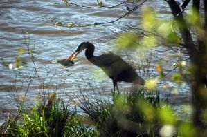 Heron And Fish by LDFranklin