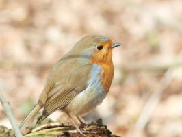 Erithacus rubecula 2 by pagan-live-style
