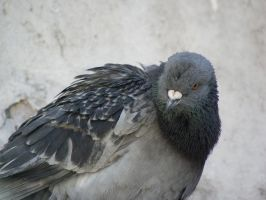 British Pigeon by foto-ragazza14