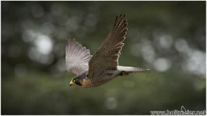 2015-80 Peregrine Falcon by W0LLE