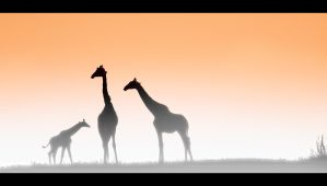 Giraffes at Dawn by MrStickman