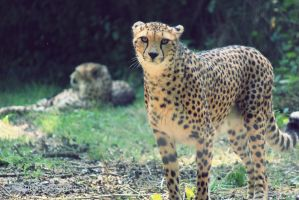 Cheetah by Titou963