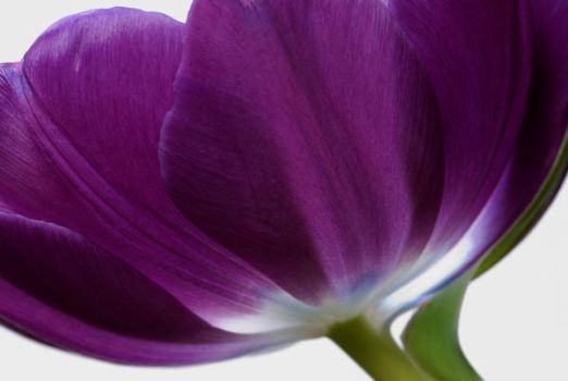 purple tulip by julies517