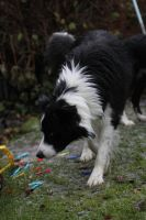 Collie Dogs 25 by Tasastock