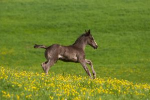 Black Foal Running on Meadow - slight blur by LuDa-Stock