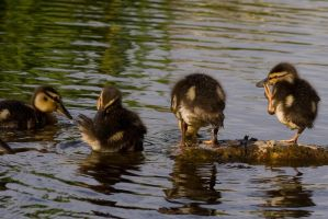 Ducklings doing by TomiTapio