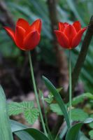 Two Tulips by organicvision