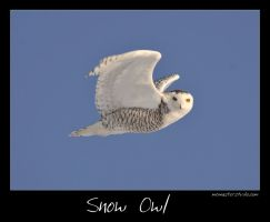 Snow Owl Canada by pictureguy