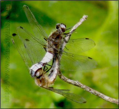 DragonFly Nature - macro by smcstylus