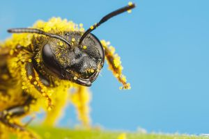 Solitary Bee Covered in Pumpkin Pollen III by dalantech