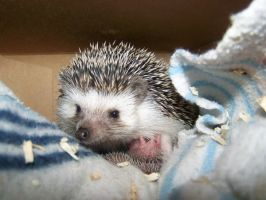 Hedgehog and Babies by Small--Lady