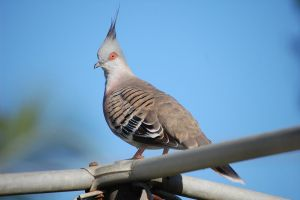 Crested Pigeon by Psittacidae13