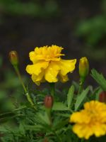 Yellow Marigold 01 by botanystock