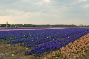 Flowering hyacinth fields 5 by steppelandstock