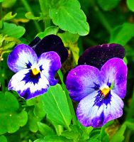 Pansy2 by TressaMarie2005