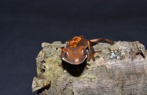 Crested gecko by Scotchupal