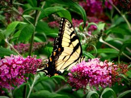 they don't call it a butterfly bush for nothing! by durkad