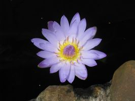 Water lilly 5324 by Maxine190889