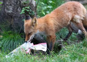 Fox With a Phone Book by Jack-13