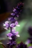 Basil In Flower by foquinha156