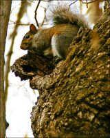 Gray Squirrel by bamako