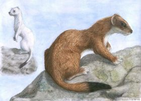 Stoat by jfapeacock